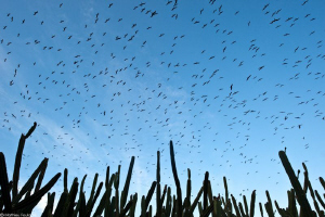 a sky of frigate birds over the Connetable island (french... by Mathieu Foulqui&#233; 